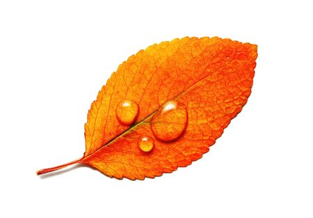 Bright orange autumn leaf with water droplets isolated on white background. Macro photography. Flat lay.