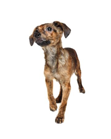 Cute brown puppy dog standing. Isolated on white background. Stock fotó - 135498645