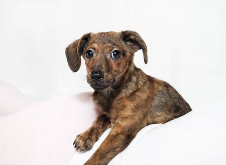 Cute brown puppy dog resting and looking at camera. Stock fotó - 135498647