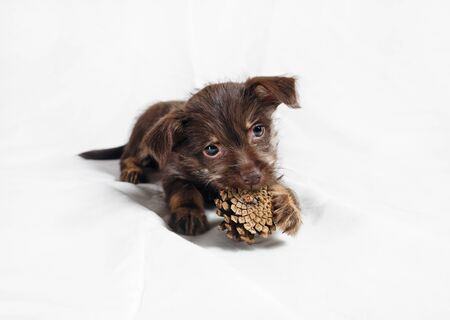 Little brown puppy dog nibbles pine cone.
