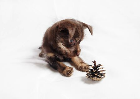 Cute brown puppy dog and pine cone. Stock fotó