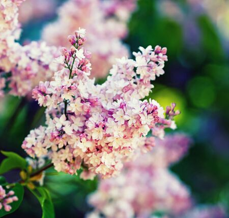 Branch of pink lilac flowers with green leaves. Shallow depth of field. Selective focus. Stok Fotoğraf