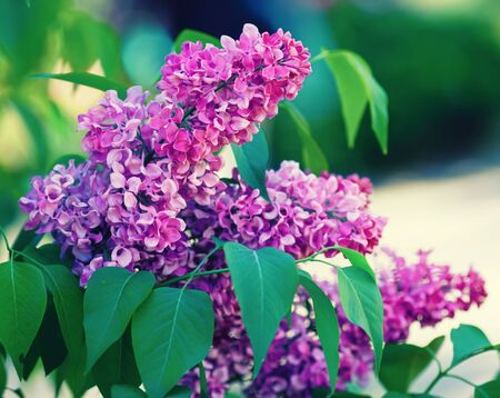 Purple lilac blooms in the garden. Lilac flowers with green leaves. Selective focus.