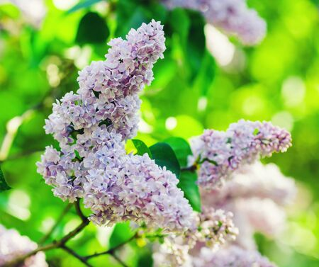 Blossoming lilac branch. Spring blooming lilac flowers. Selective focus.