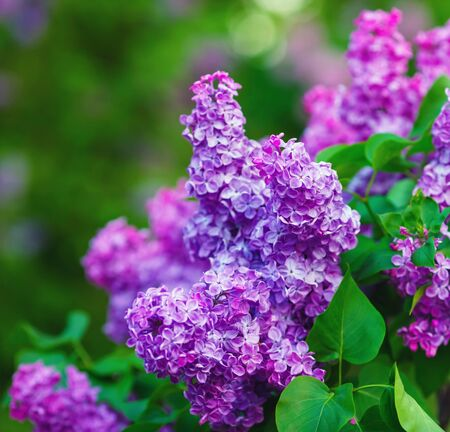 Blossoming purple lilacs and green leaves. Shallow depth of field. Selective focus.