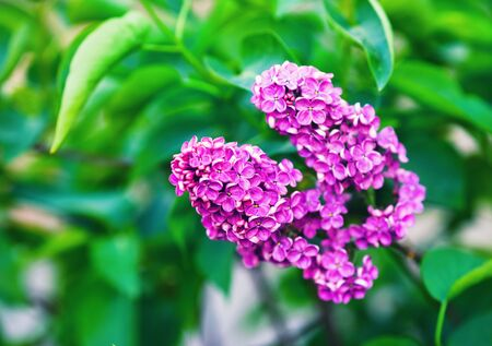 Spring lilac flowers and green leaves. Shallow depth of field. Selective focus.