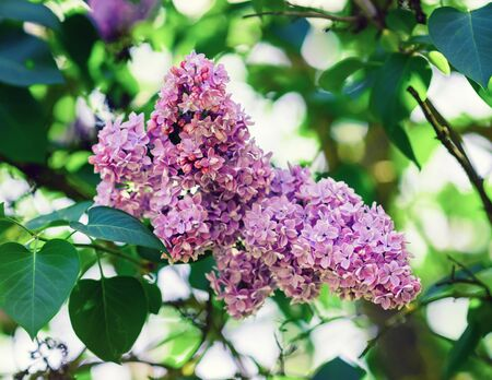 Pink lilac flowers on green leaves background. Blossoming lilac. Selective focus.