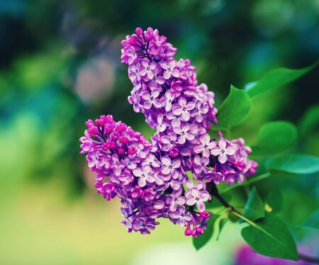 Purple lilac flowers with green leaves. Selective focus.