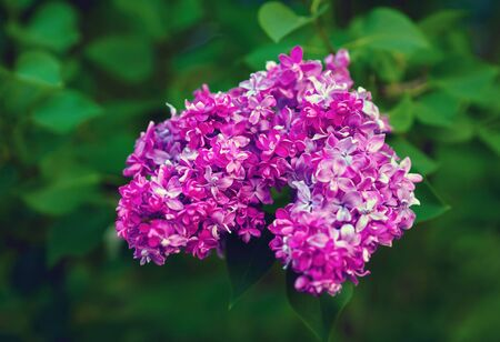 Macro view of purple lilac flowers and green leaves. Shallow depth of field. Selective focus.