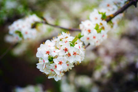 Flowering tree branch with white tender flowers. Spring blossom. Shallow depth of field. Selective focus.