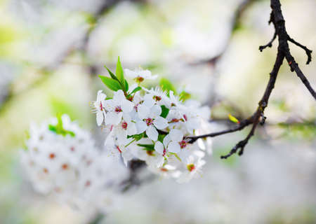 White blooming cherry tree branch with tender flowers. Spring blossom. Shallow depth of field. Selective focus. Archivio Fotografico