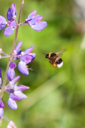 lupin: Volare bumblebee lupino nelle vicinanze Archivio Fotografico