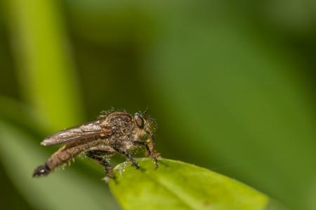 asilidae: Insect sitting on sheet  lat Asilidae