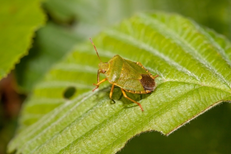 Wood bug on green sheet of a tree photo