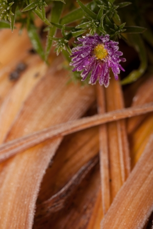 novae: The frozen aster   natural background