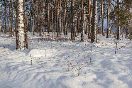 madera pino: En invierno madera de pino, helado, un d�a soleado Foto de archivo
