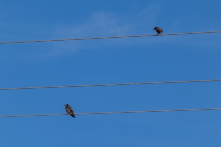 Starlings sitting on wires  A natural background photo
