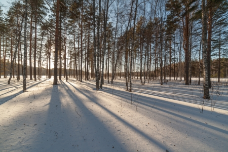 thawed: Shades in winter wood on a sunset. A winter landscape