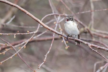 srokaty: Ptak muchołówka siedzi na gałęzi i śpiewa
