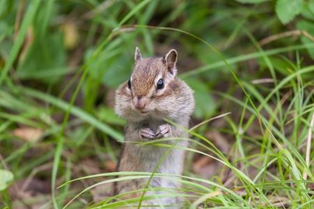 hinder: Chipmunk sitting on hinder legs in a grass