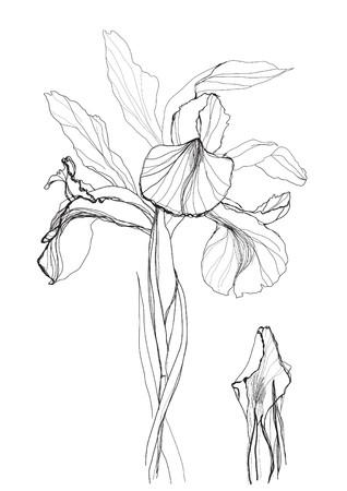 iris fiore: Fiore di Iris disegno su sfondo bianco