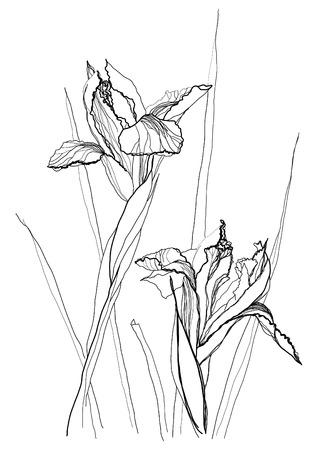 etching pattern: Iris flower drawing on white background Illustration