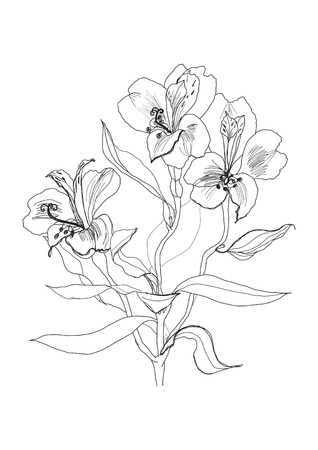 Alstrameriya flower pen drawing on white background