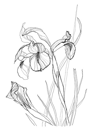 etching: Iris flower drawing on white background Illustration