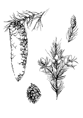 fir cone: pen monocrom�tica fir-conos de dibujo  Vectores