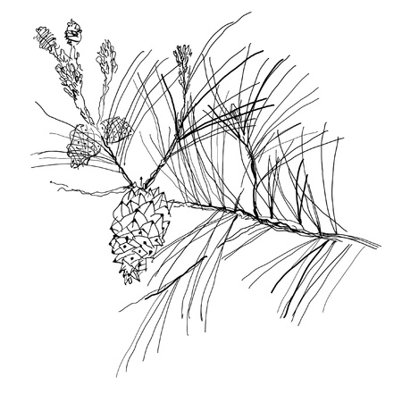 pine cones: monochrome pen drawing fir-tree branch