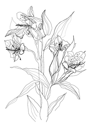 Alstrameriya flower drawing on white background
