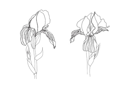 etching pattern: Two iris flowers drawing on white background