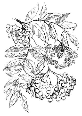 Vogelbeere: Rowan Filiale Zeichnung auf weißem Hintergrund