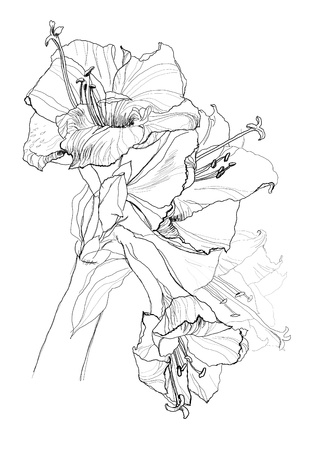 monocrom�tico: hibiscus flower pencil drawing on white background Ilustra��o