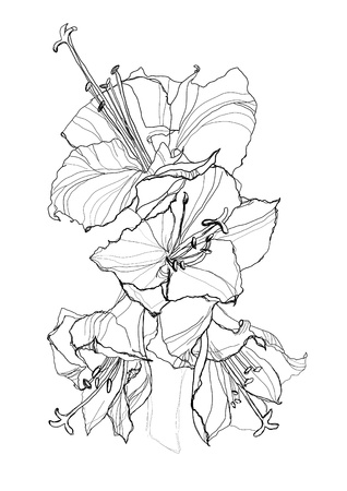 etching pattern: hibiscus flower pencil drawing on white background Illustration