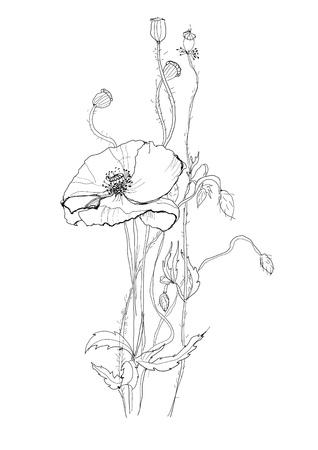 Poppy flower drawing on white background