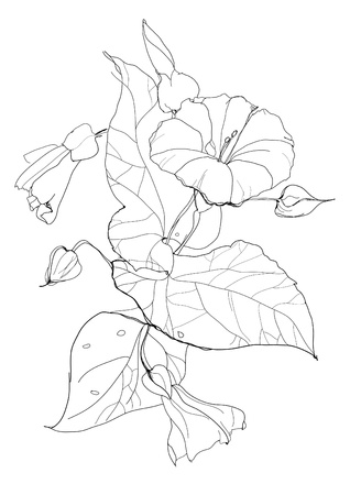 Bindweed flower drawing on white background