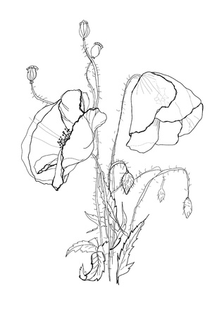 engraving print: Poppies flower drawing on white background