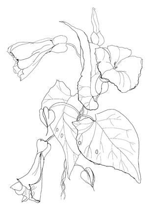 Bindweed flowers drawing on white background Illustration