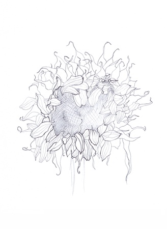 sunflower pen drawing photo