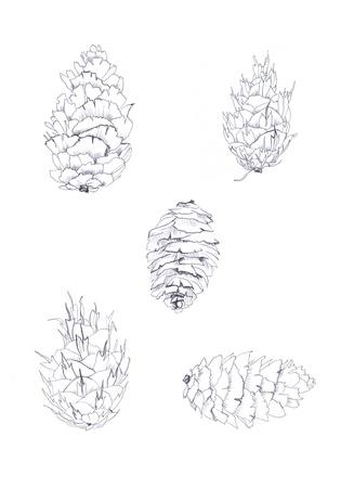monochrome pen drawing fir-cones sketch  photo