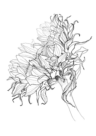 etching: sunflower pen drawing vector sketch