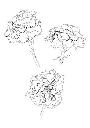 carnation flower drawing on white background Illustration