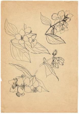 jasmine flower: jasmine hand drawing sketch