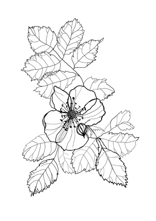 dogrose: dog-rose flower pencil drawing on white background