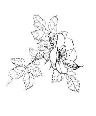 etching pattern: dog-rose flower pencil drawing