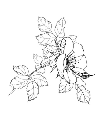 dog-rose flower pencil drawing