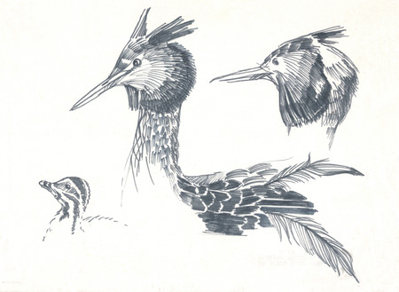 grebe: great crested grebe pen drawing
