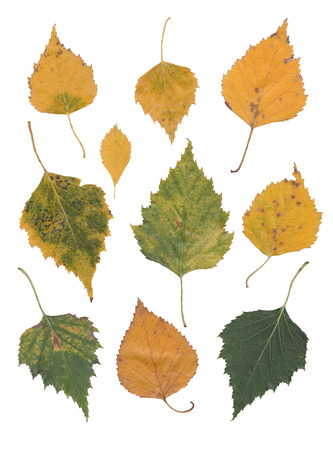 yellow birch leaves isolated over white Фото со стока