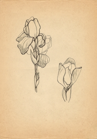 Iris flower drawing on old paper